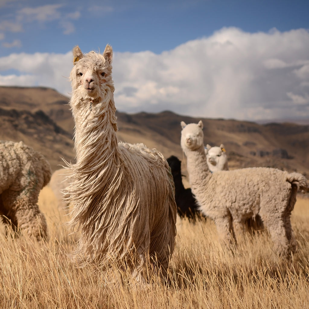 Alpaca-history-featured