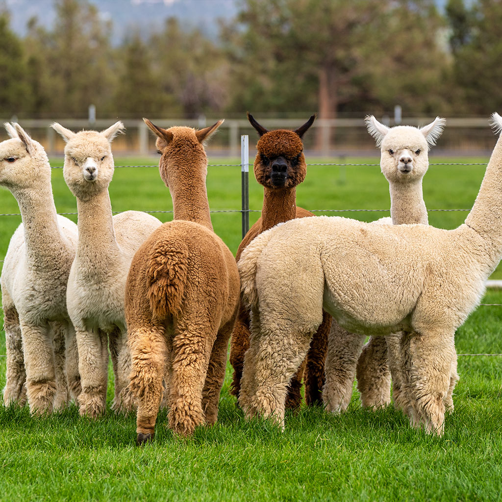 Investing-in-the-World's-Finest-Livestock-Investment